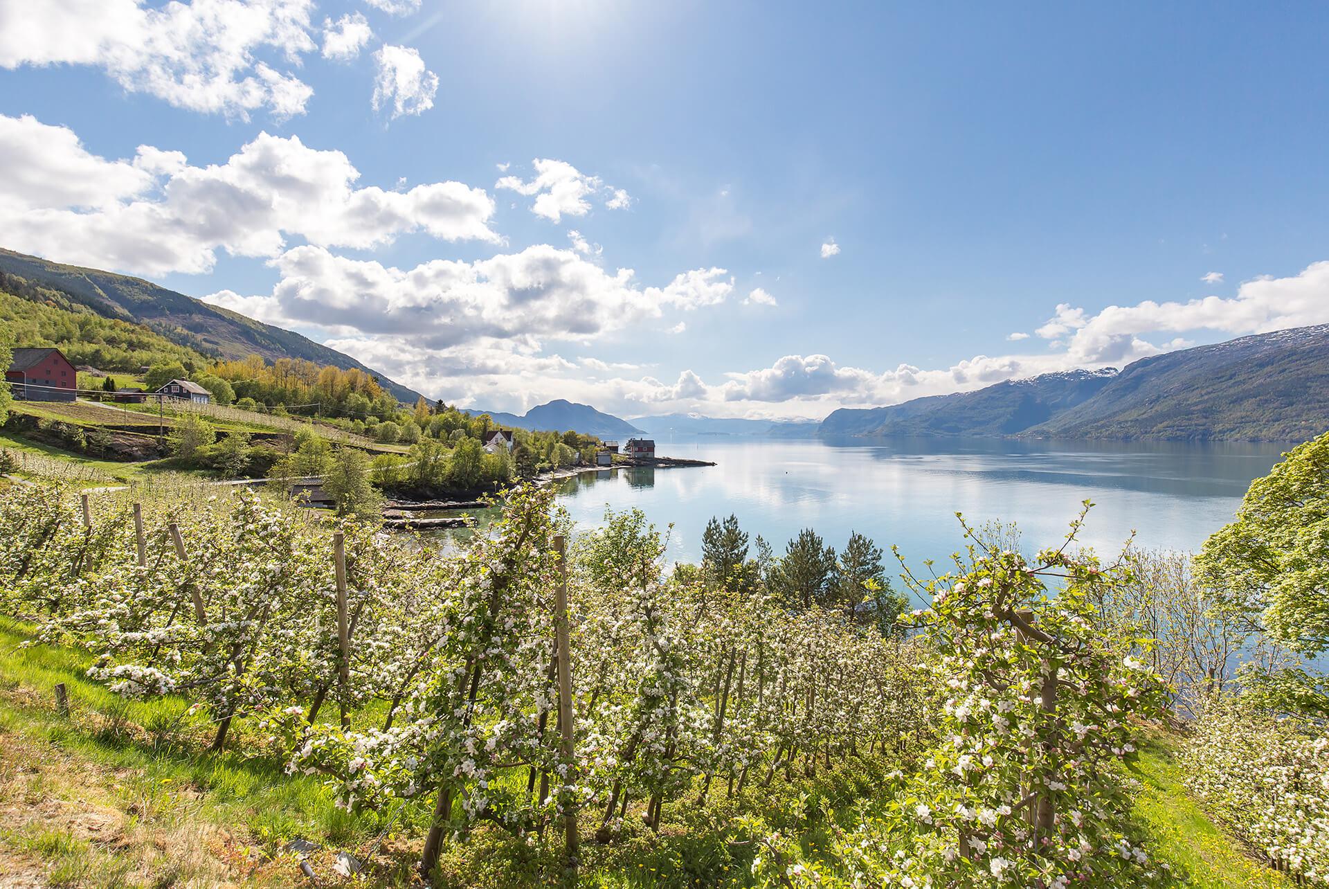 Bløming 03 kreditering VisitHardangerfjord web